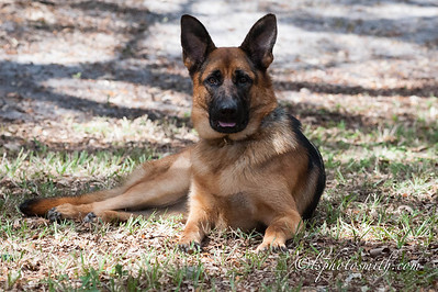 German Shepherds from DOCH