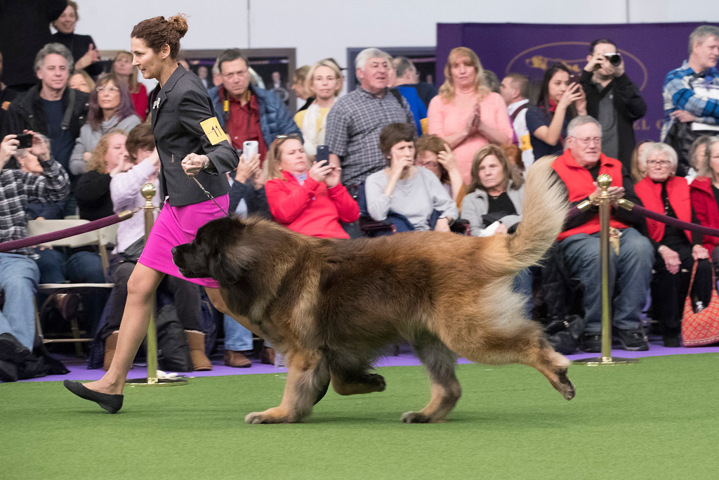 . Alida Greendyk show Dario, a Leonberger, in the ring during the 141st Westminster Kennel Club Dog Show, Tuesday, Feb. 14, 2017, in New York. (AP Photo/Mary Altaffer)