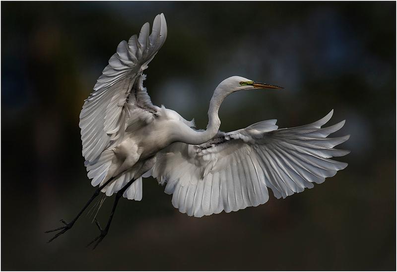 8 Landing Egret