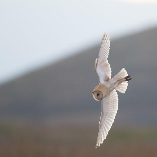 Barn Owl - Fremont, CA, USA
