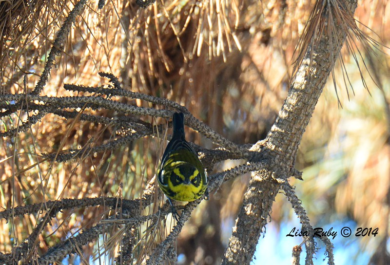 Townsend's Warbler - 12/29/2014 - Imperial Beach Sports Park