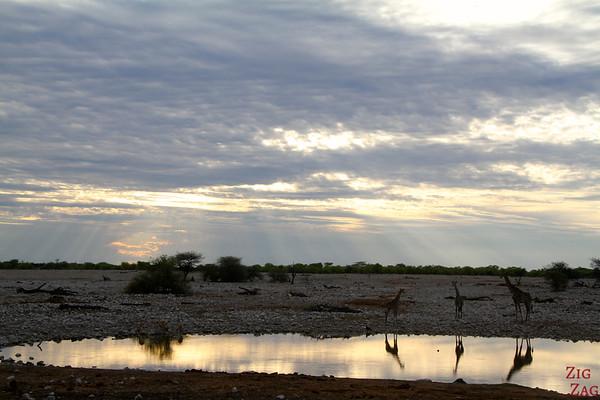 Giraffes near waterhole Etosha