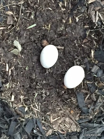 2016 05-01 Duck eggs next to the house