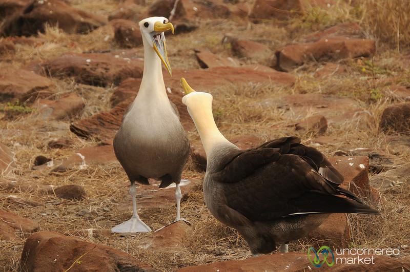 Albatross Dance - Galapagos Islands