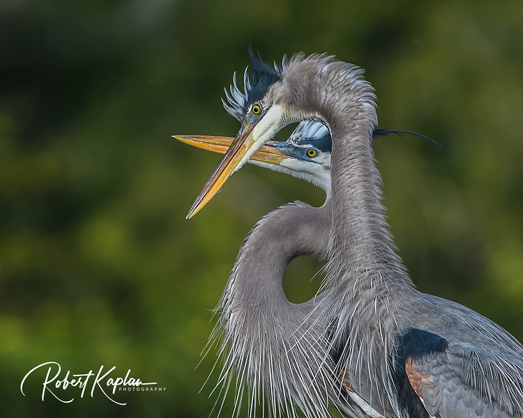 Great Blue Heron DeNoised-9837-.jpg