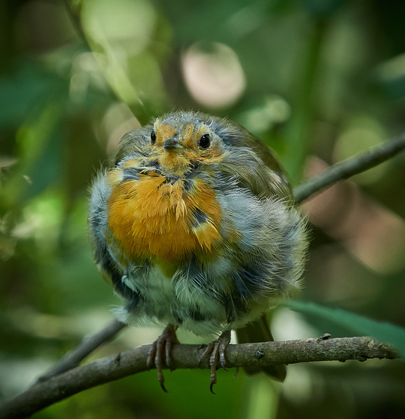 Robin Puffed-up against the chill