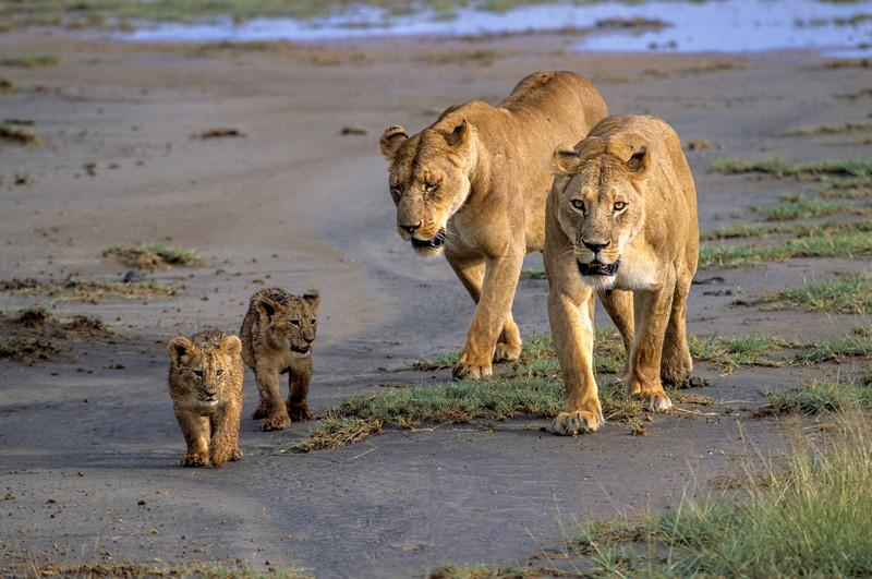 Lionesses & Cubs