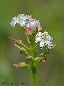Buckbean family, Menyanthaceae