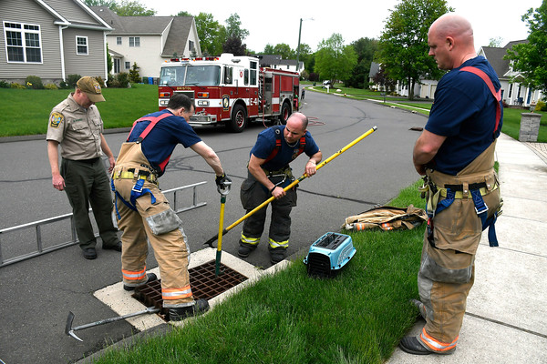 5/17/2018 Mike Orazzi | Staff Bristol fire fighters and animal control rescue recuse six ducklings from storm drains on Village Street in Bristol Thursday afternoon.