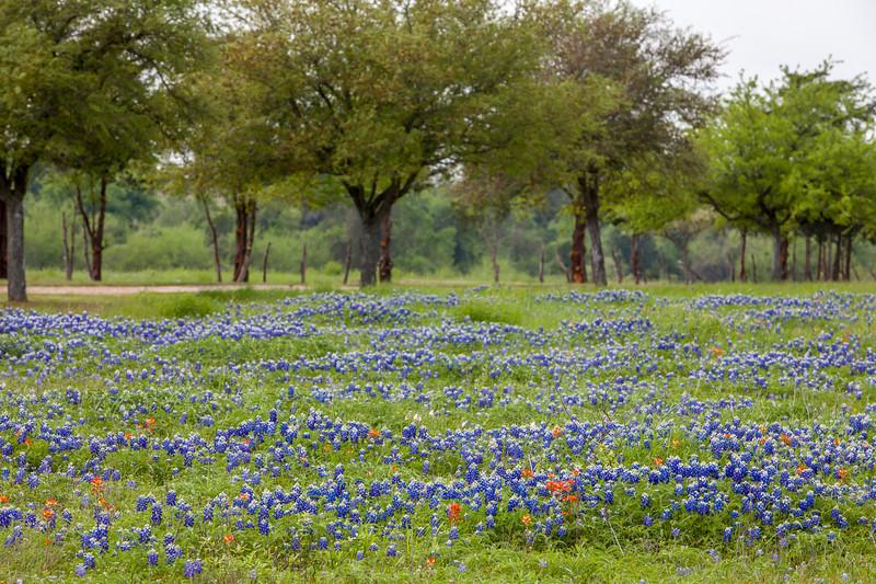 2015_4_3 Texas Wildflowers-7766.jpg