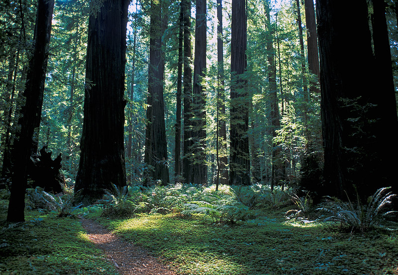 Sunny green glade and trail, somewhere in Redwoods National Park, California