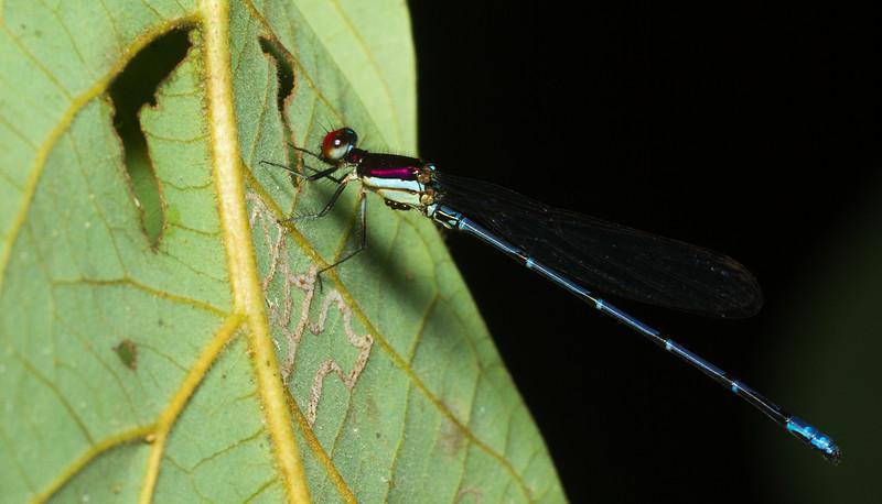Damselfly (Argia sp., possibly A. cupreaurea) from Panama.