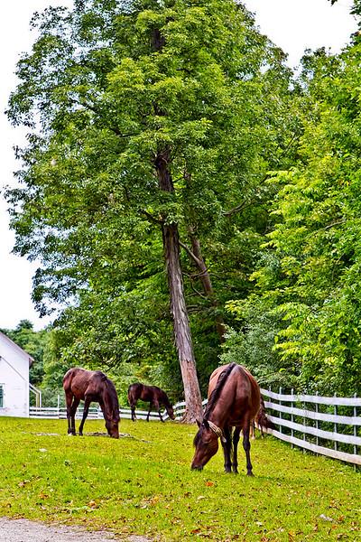 Vermont_Morgan Horse_109.jpg