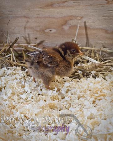 Anna's Chicks