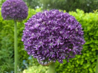Allium 'Ambassador'.jpg