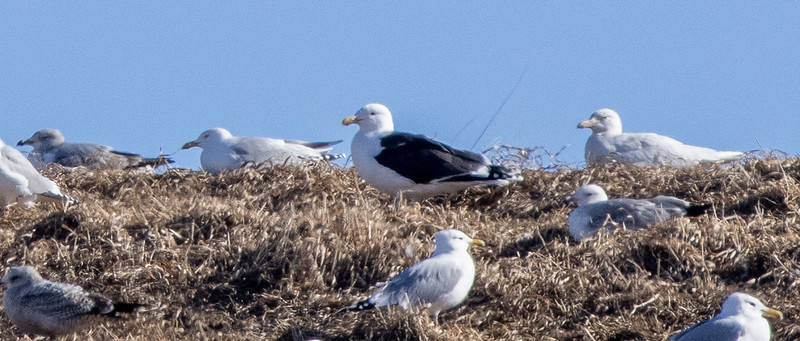 Great Black-backed Gull adult juvenile Glaucous Gull Superior Landfill Wisconsin Point Superior WI  IMGC5461.jpg