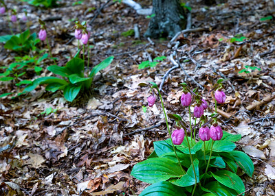 Wild Pink Ladyslipper Orchards