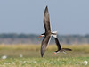 African Skimmers getting excited