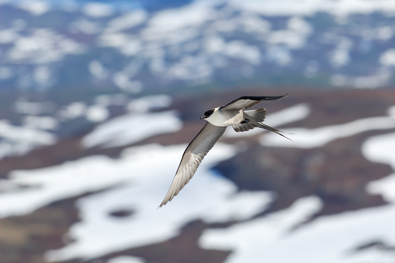 Long tailed skua , Fjällabb