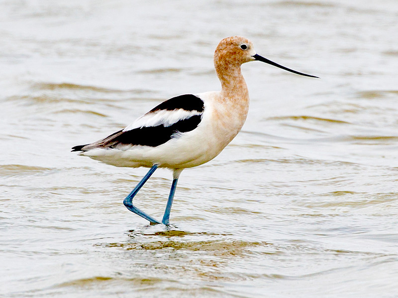 Lone Female (or Juvenile) Avocet.
