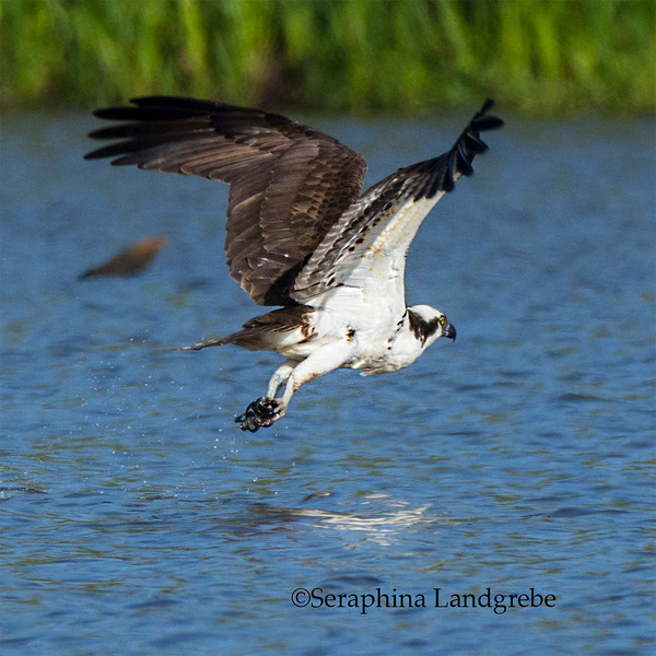 _DSC3280Osprey fishing.jpg