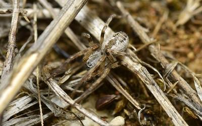 Phryganoporus candidus (Foliage-webbing Social Spider)