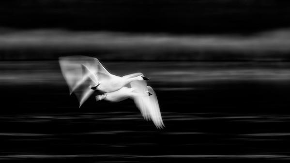 Swans Winter 2019 - 2020