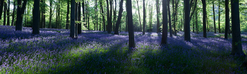 Bluebell panorama 4.jpg