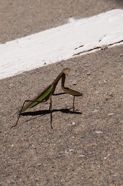 clip-015-insect_mantis-wdsm-22aug16-12x18-004-1045.jpg