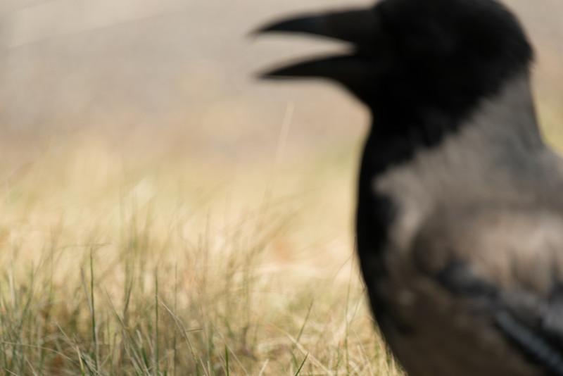 The Crow F7175.jpg