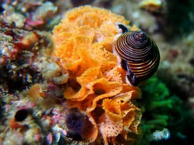 Calliostoma ligatum (blue top snail)