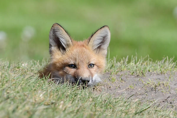 5-17-16 Red Fox Kits - A Day In The Life Of Kits