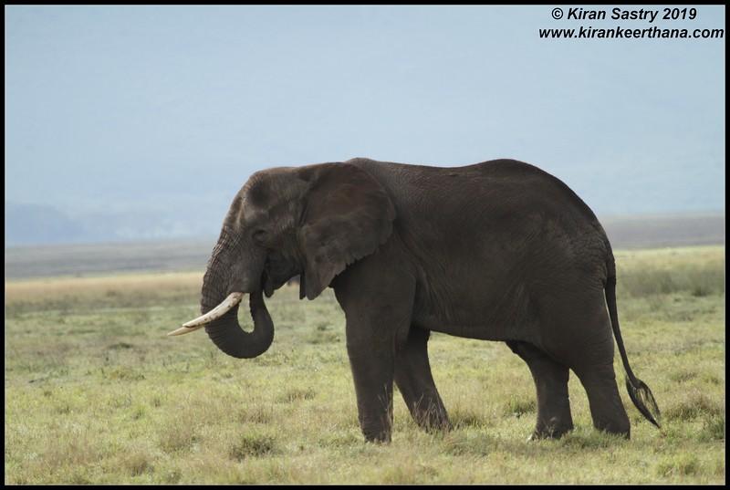 African Elephant, Ngorongoro Crater, Ngorongoro Conservation Area, Tanzania, November 2019
