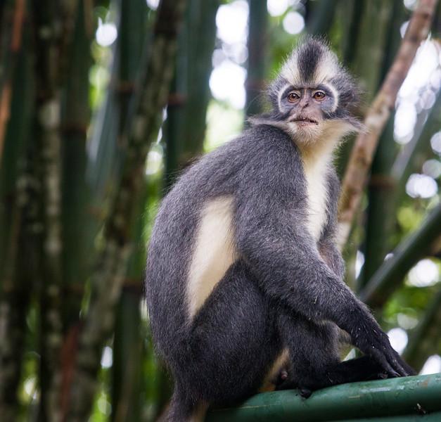 A Thomas Leaf Monkey in Gunung Leuser National Park, north Sumatra, Indonesia