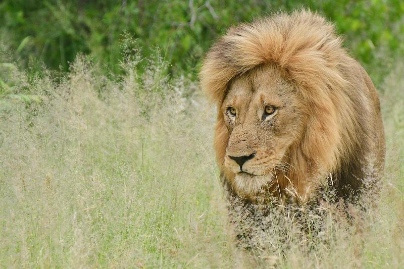 Male Lion 1.jpg