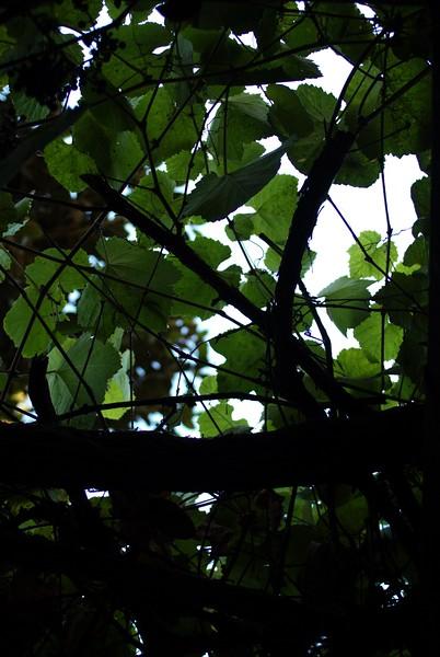 AvilaAdobe005-LeavesOverhead-2006-11-13.jpg