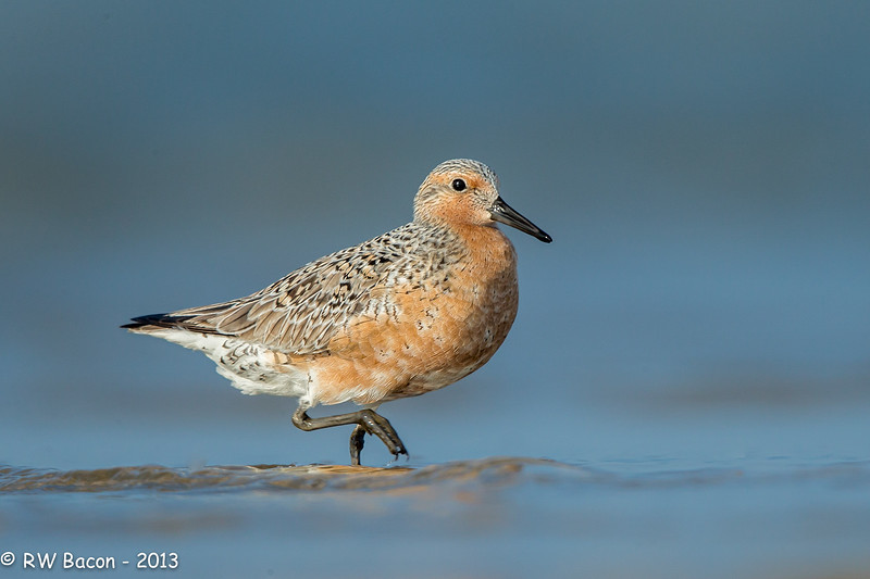 Red Knot.jpg