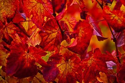 The Vineyard in Fall