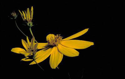Coreopsis major (Asteraceae)