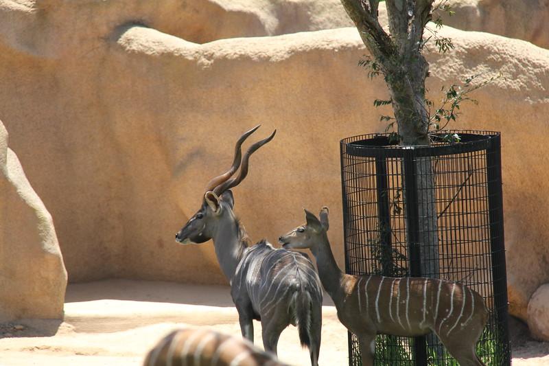 20170807-110 - San Diego Zoo - Antelope.JPG
