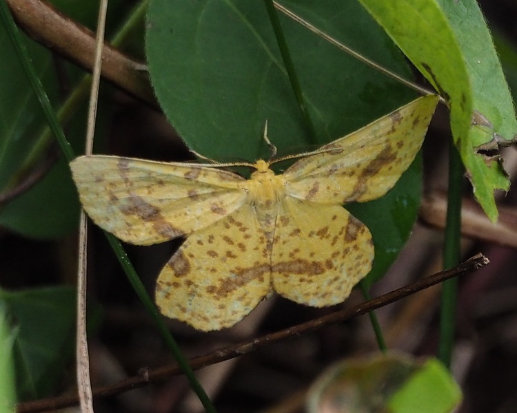 Attentive Crocus Soldier Moth (6744: Xanthotype attenuaria)