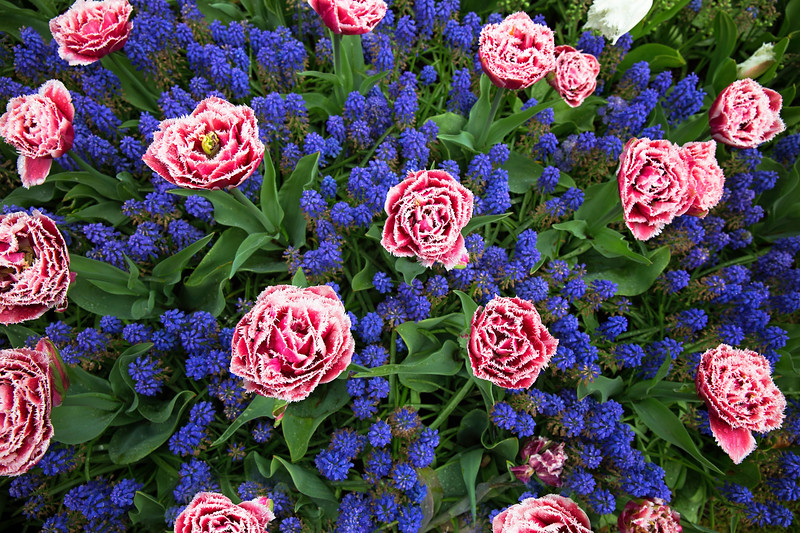 large pink and blue flowers.jpg