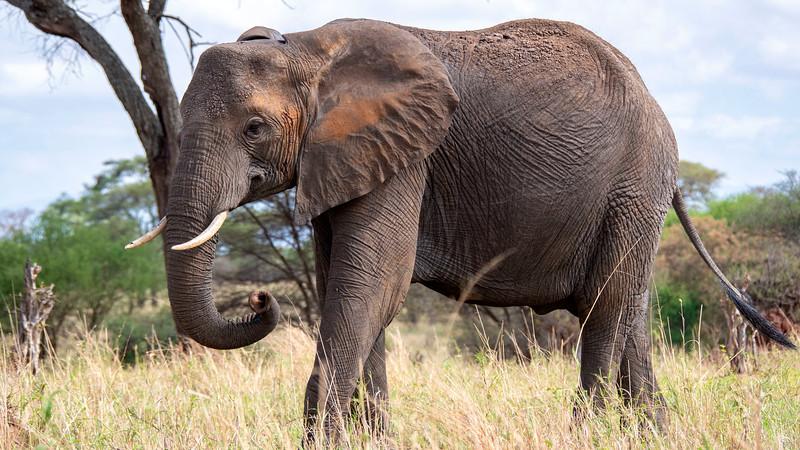 Tanzania-Tarangire-National-Park-Safari-Elephant-18.jpg