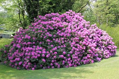 Large Flower Bush, Hometown (5-29-2013)
