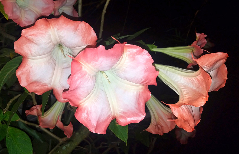 9_3_19 Blooming Angel Trumpet.jpg