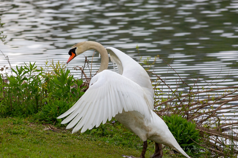 mute swan signed-8.JPG