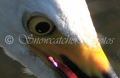 egret eyes