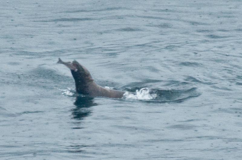 Shot through the cafeteria glass. Sea lion gets a fish. Raining.