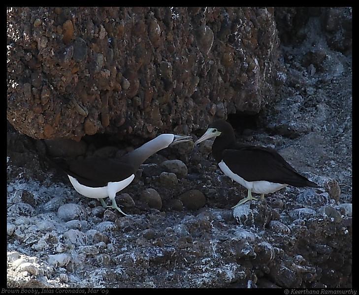 Brown Booby Pair, Islas Coronados, Mexico, March 2009