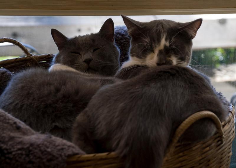 Jeffry Grey Kitty in basket_DSC8062 copy.jpg